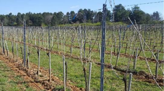 L'expérimentation de taille tardive : une solution écologique face au gel des vignes.